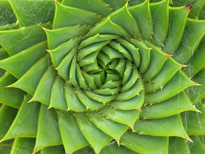 http://www.alaalsayid.com/images/articles/Fibonacci/fibonacciSpiralALOE.jpg