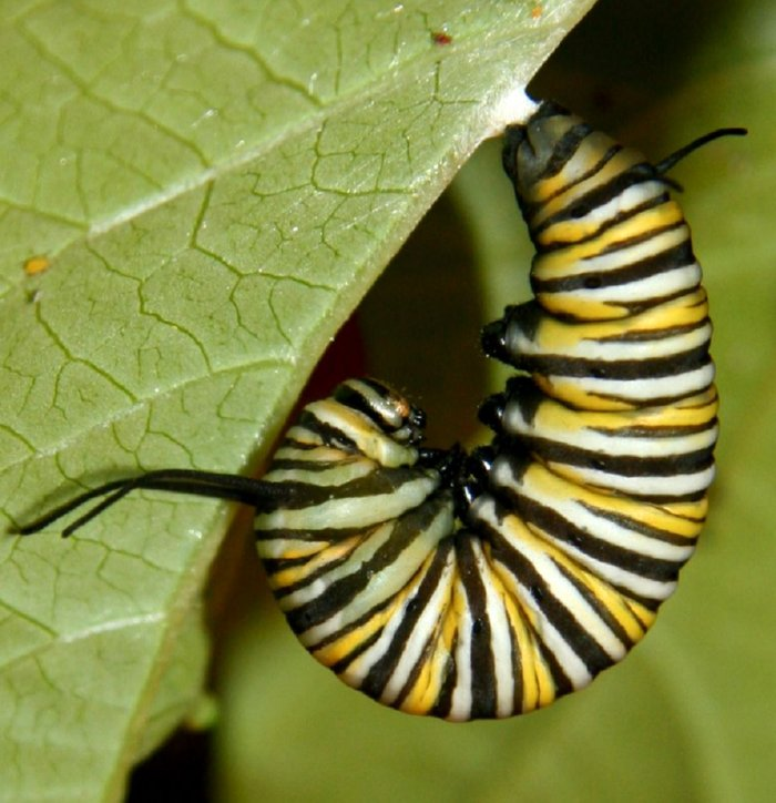 http://www.alaalsayid.com/images/articles/Fibonacci/monarch%20caterpilar.jpg