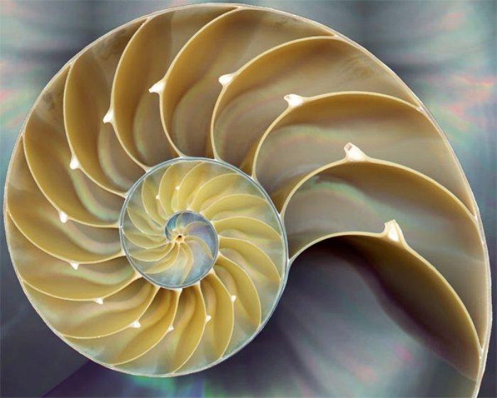 http://www.alaalsayid.com/images/articles/Fibonacci/nautilus%20shell.jpg