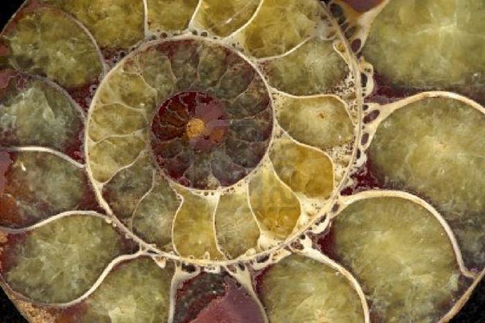 http://www.alaalsayid.com/images/articles/Fibonacci/sea-shell-fossil.jpg