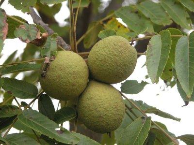 برنامج هولدا كلارك لإزالة الطفيليات black_walnut_fruit.jpg