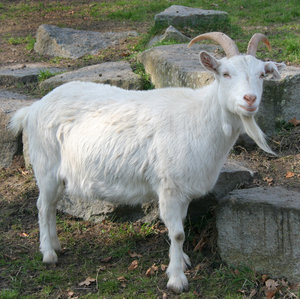 http://www.baytalhaq.com/images/articles/goat_by_Drezdany_stocks.jpg