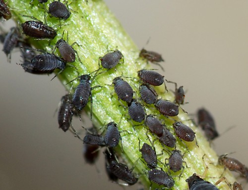 http://www.alaalsayid.com/images/articles/natpesticides/Aphids_s.jpg